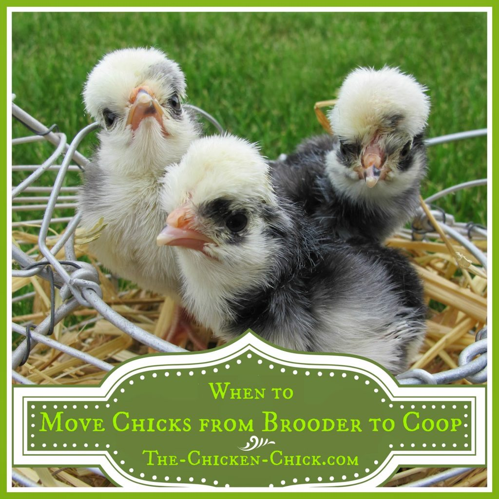 Many factors play a role in determining when the time is right to move chicks from the brooder to the coop and we'll take a look at them here.