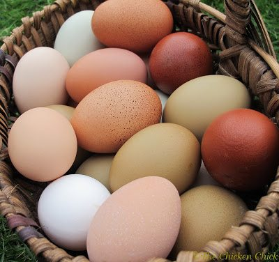 Collect eggs frequently throughout the day if possible. The less time eggs spend in the nest boxes, the less likely they are to be broken, eaten or soiled accidentally. Roll-out nests will work for chicken-keepers that are not at home the majority of the day.