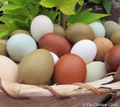 Keeping backyard chickens should mean that their eggs are fresher, more nutritious and safer to eat than commercially produced eggs, but that will not be the case if eggs are allowed to be contaminated before they even reach the kitchen.