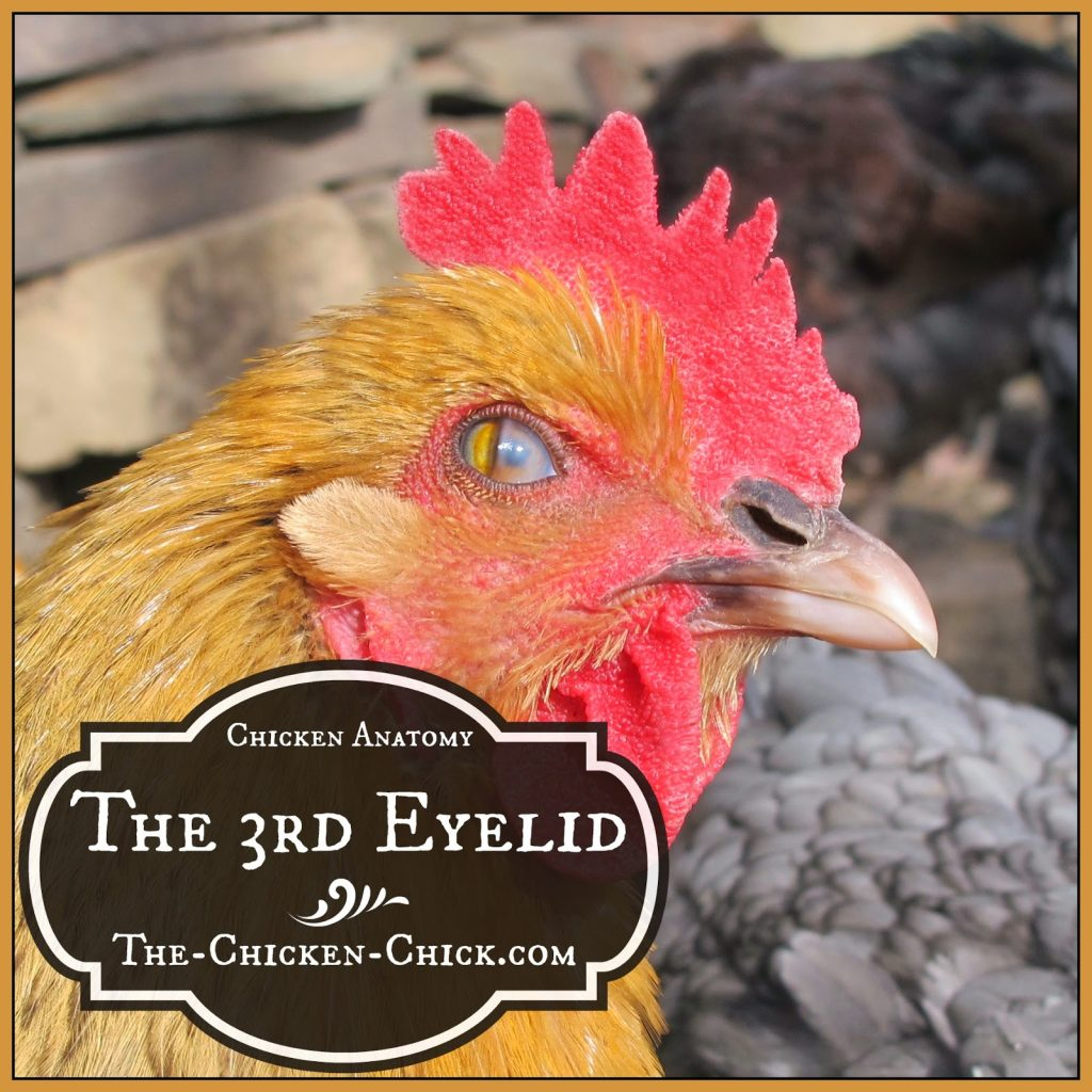 The hazy-looking eye this photo is caused by a chicken's nictitating membrane, which is its third eyelid.
