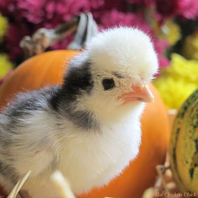 5 Healthy Treats For Chickens And 3 Food Myths Busted The Chicken Chick