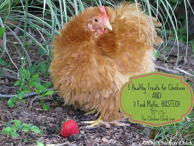 5 healthy treats for chickens 3 food myths the chicken chick