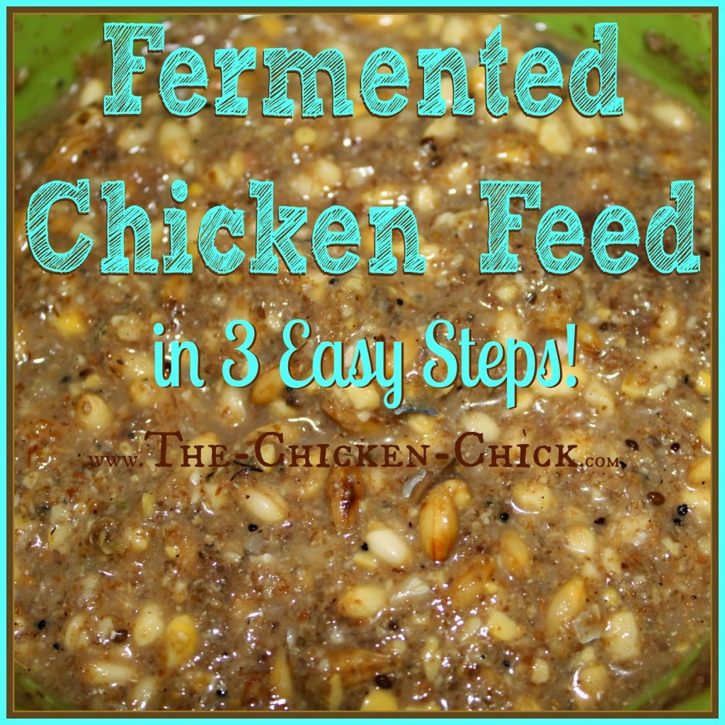 This article outlines the basic benefits of feed fermentation for backyard chickens and shows how to do it in 3 easy steps. Fermenting is easy and the advantages for chickens, significant.