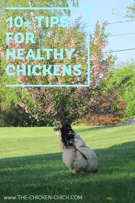 10 Tips for Healthy Chickens via The Chicken Chick®