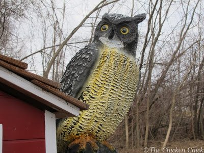 Decoy owls may or may not be deterrents for hawks and other raptors.