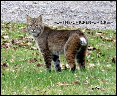 Bobcat via The Chicken Chick®