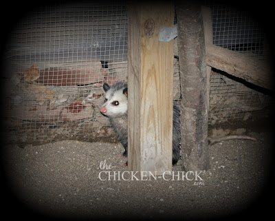 Always check to be sure the chicken run is clear of predators before locking the door at night.
