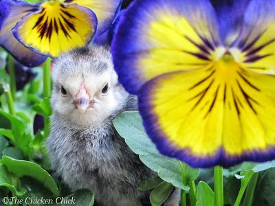 As a new chicken-keeper in 2009, I read every book I could find about backyard chickens and I spent countless hours, days, likely months on the BackyardChickens.com member forum under the username ADozenGirlz, trying to gain a level of confidence in caring for my new pets. What I quickly learned on BYC is that there was a great wealth of excellent information online, but even more guy-on-the-street opinions and unreliable recommendations.
