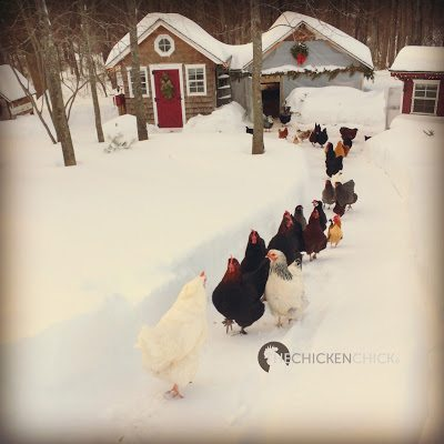 The thought of surviving winter with chickens doesn't have to send chills up your spine. There are only two things that are critical to a backyard flock in cold temperatures: access to water and a dry coop.