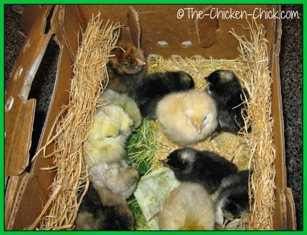 These were my first chicks moments after I picked them up at the post office.