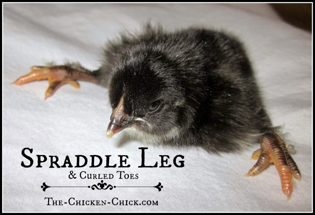 Spraddle leg, also known as splay leg or splayed leg is a deformity of the legs, characterized by feet pointing to the side, instead of forward. Spraddle leg makes walking difficult, if not impossible and can be permanent if left uncorrected. One cause of spraddle leg is slick floors that result in chicks losing their footing. The legs twist out from the hip and remain in that position unless corrected. Other causes are: temperature fluctuations during incubation; a difficult hatch that makes legs weak; a leg or foot injury; brooder overcrowding; or a vitamin deficiency. Chicks arriving with spraddle leg will be obvious and should be treated immediately. The sooner it's addressed, the sooner the bones can heal in the proper position.