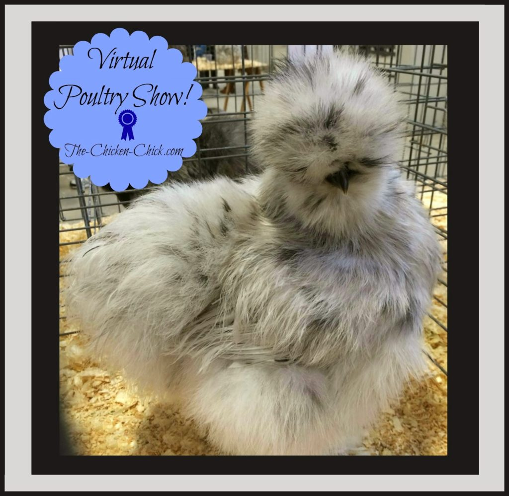 Virtual Poultry Show, Bantam Splash Sikie