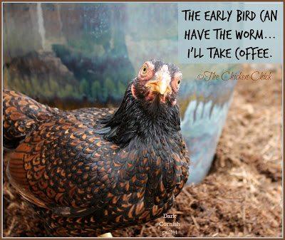 Dark Cornish hen, heat tolerant breed.