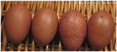 These eggs were from my Marans pullets.