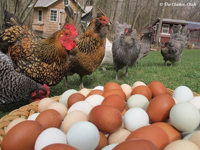 Breeds from left to right: Barred Plymouth Rock, Golden Laced Wyandotte, Easter Egger, Blue Ameraucanas.