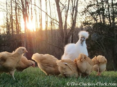 Freida (White Silkie) with her Buff Orpington adopted chicks