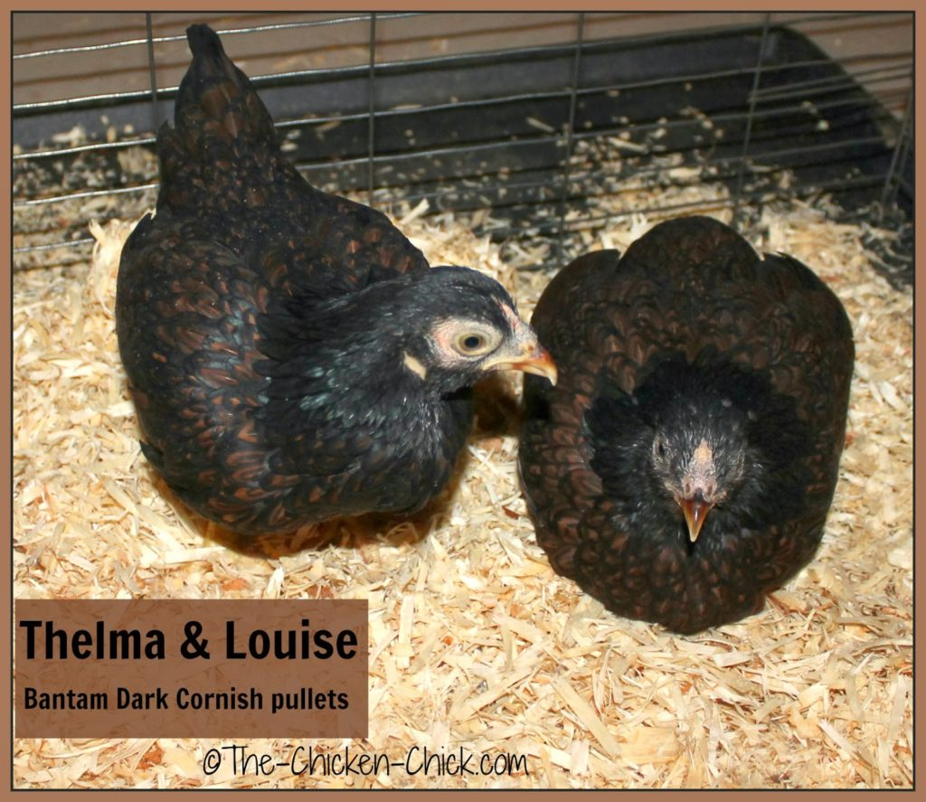 Dark Cornish pullets