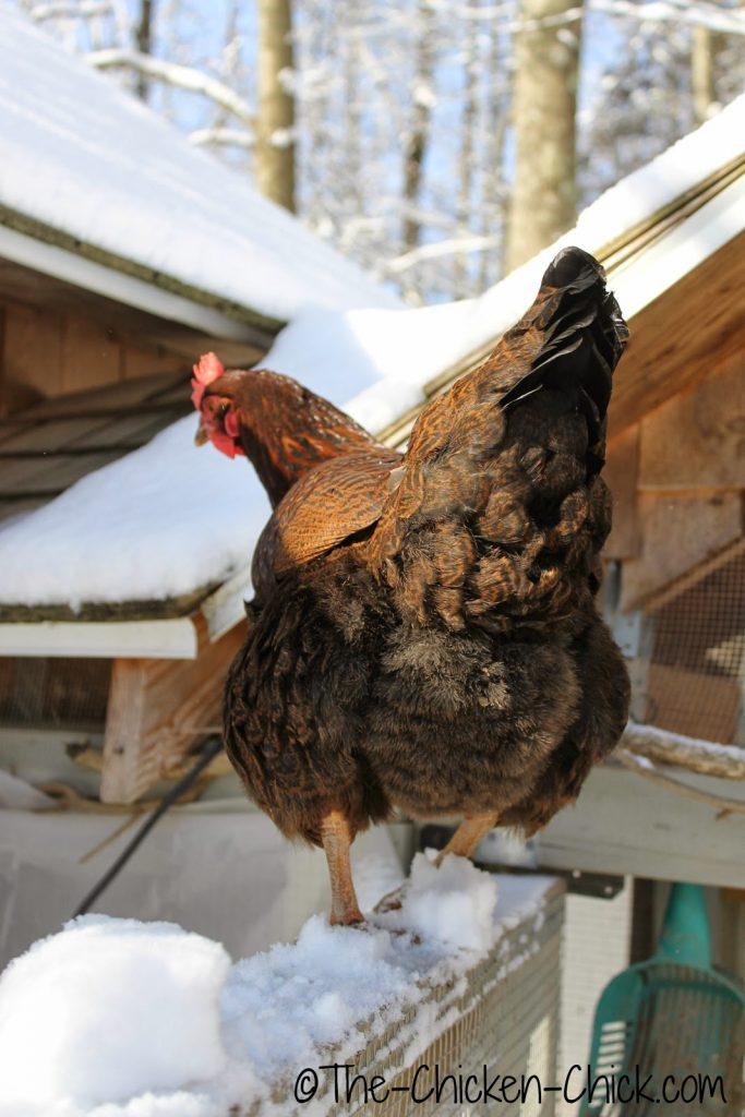 Partridge Plymouth Rock hen