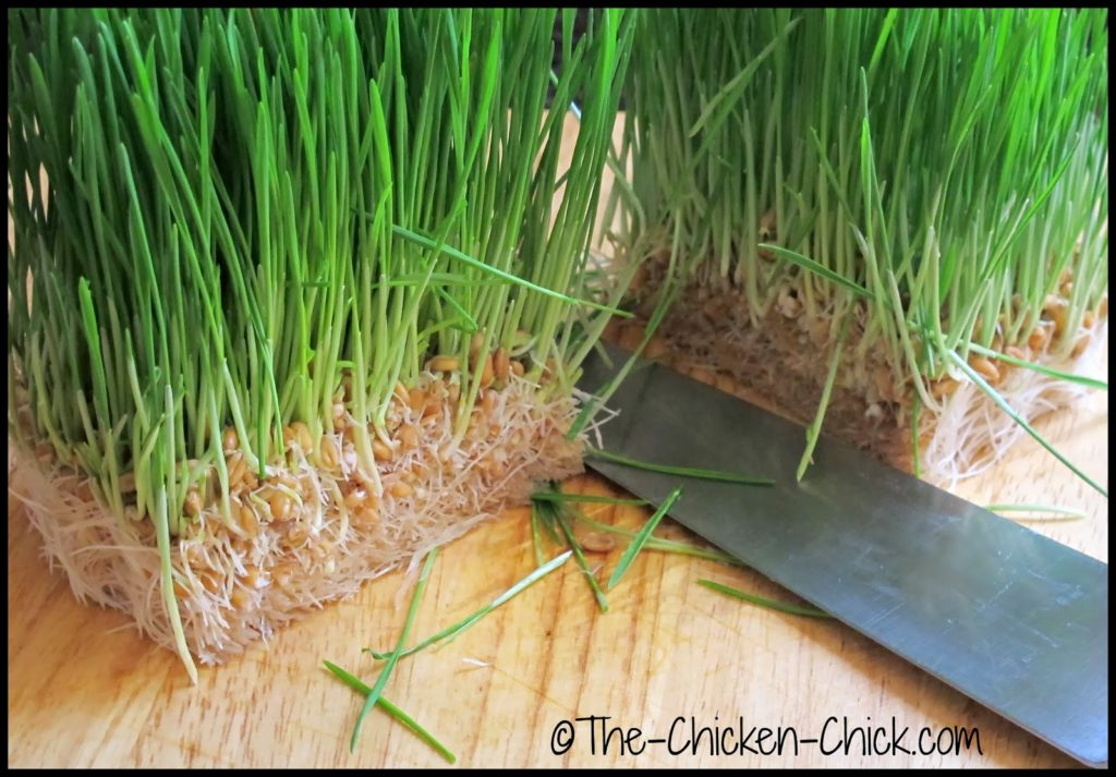 Growing sprouts for Chickens, fodder at day 7