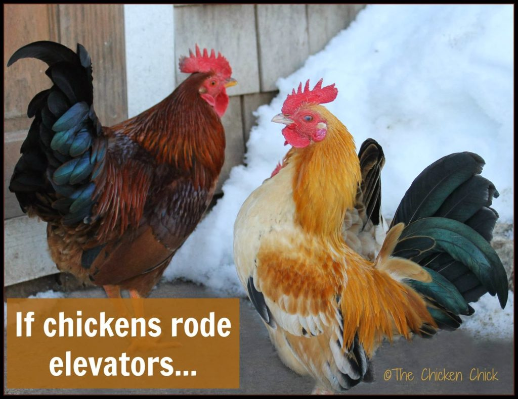 If chickens rode elevators.