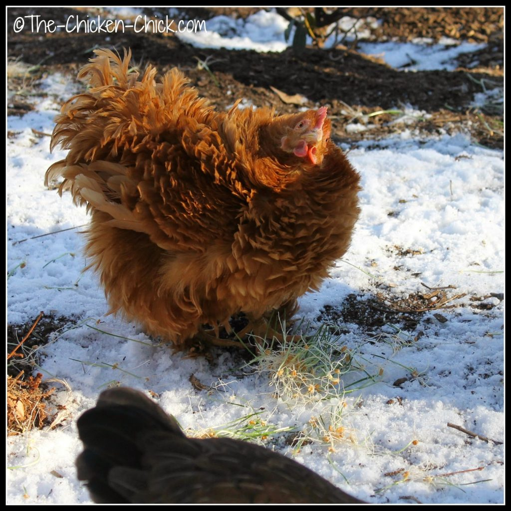 The chickens eat every part of the sprout, which means there is ZERO waste!