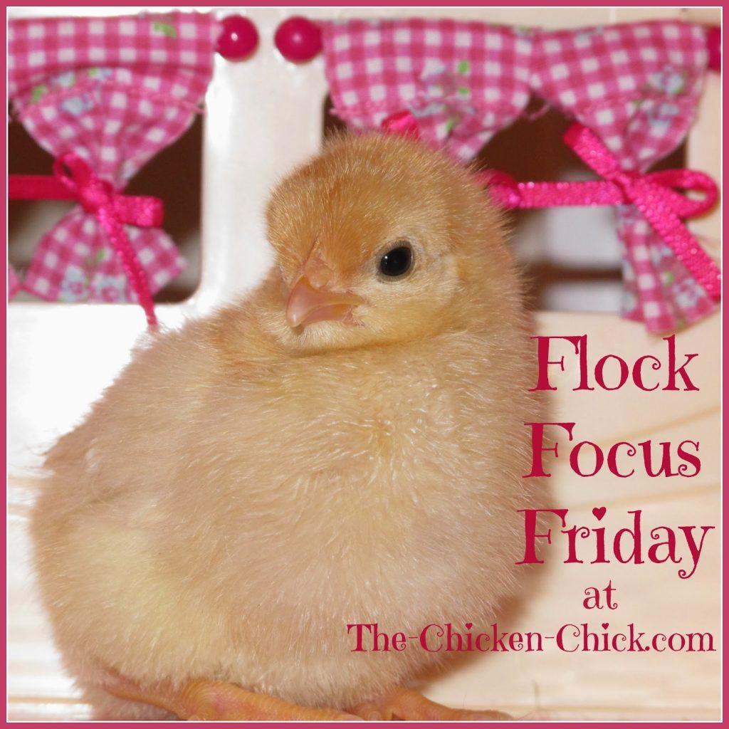 Day old chicken chick
