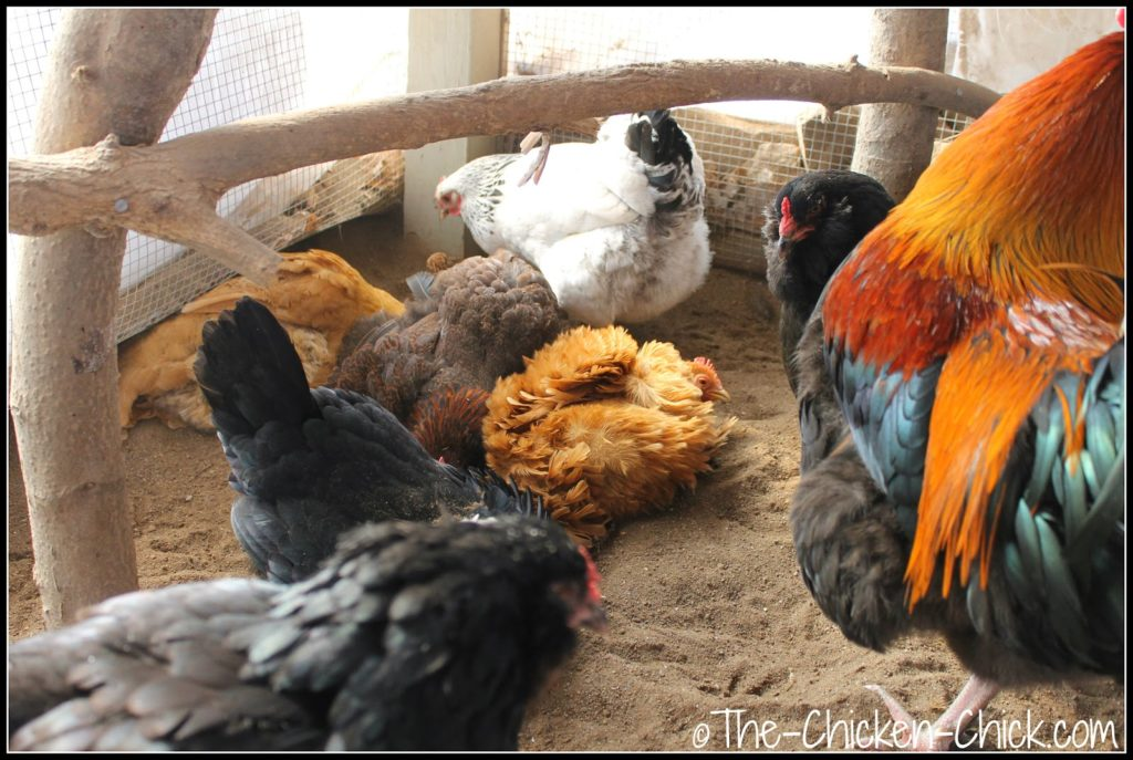 Dust bathing chickens