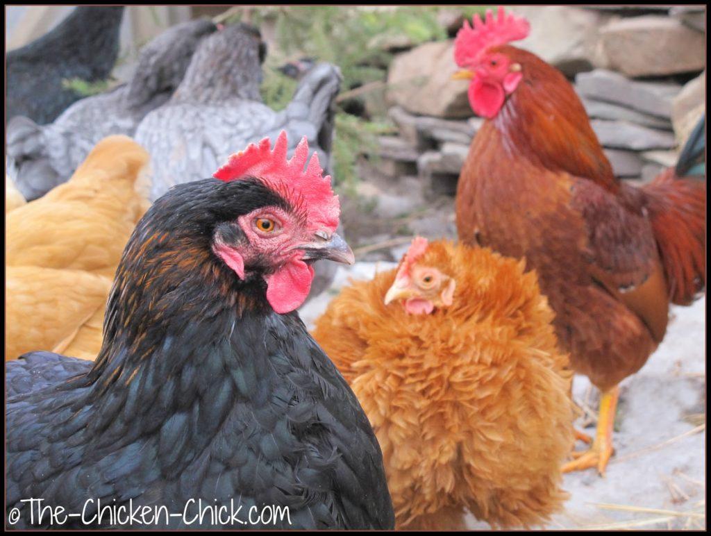 Backyard chickens, Marans, Bantam Cochin Frizzle & barnyard mix