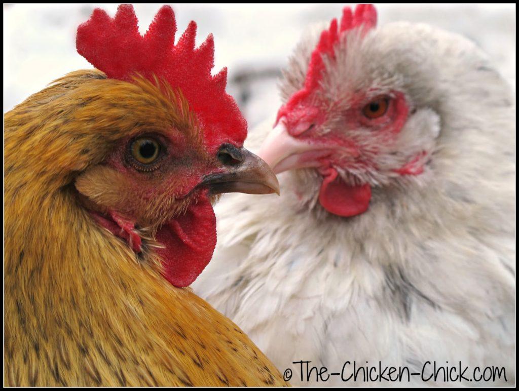 Two Marans hens