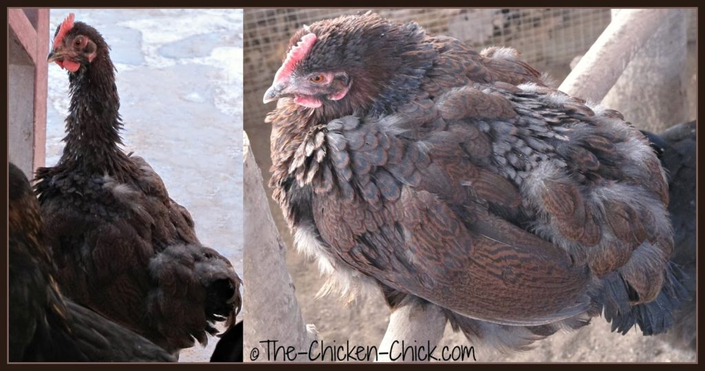 Partridge Plymouth Rock hen, molting