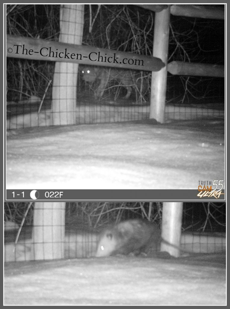 Coyote and opossum behind chicken coops