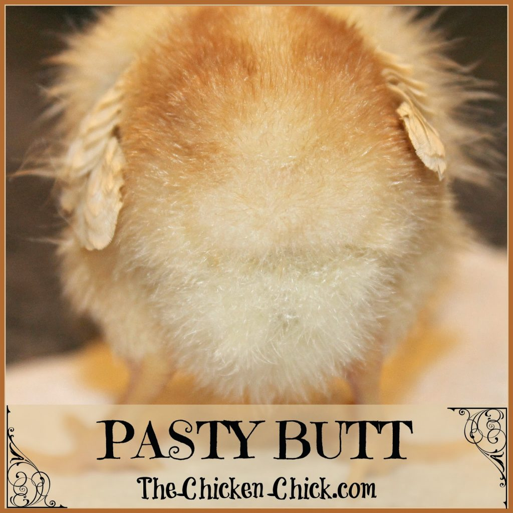 Pasty Butt in Baby Chicks: Causes, Treatment and Prevention