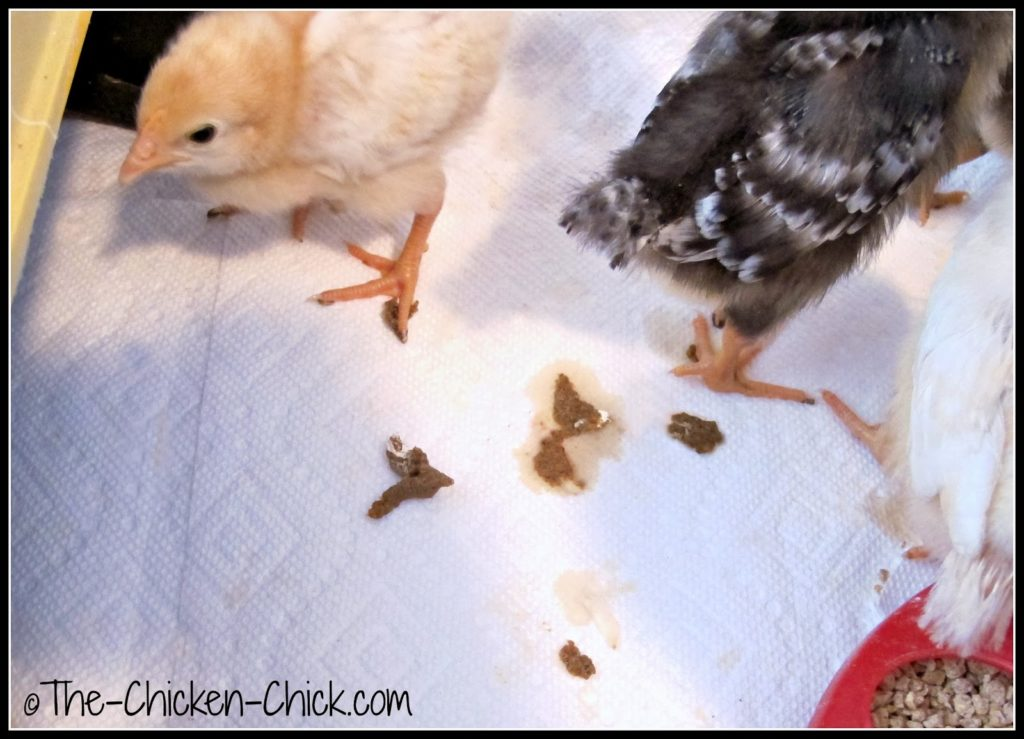 Droppings, manure, scat, poop, waste, excrement, detritus, however one may refer to it, it is impossible for chicks to avoid walking on it even in the most meticulously attended to brooder. Manure balls that are not removed can cause a variety of problems.