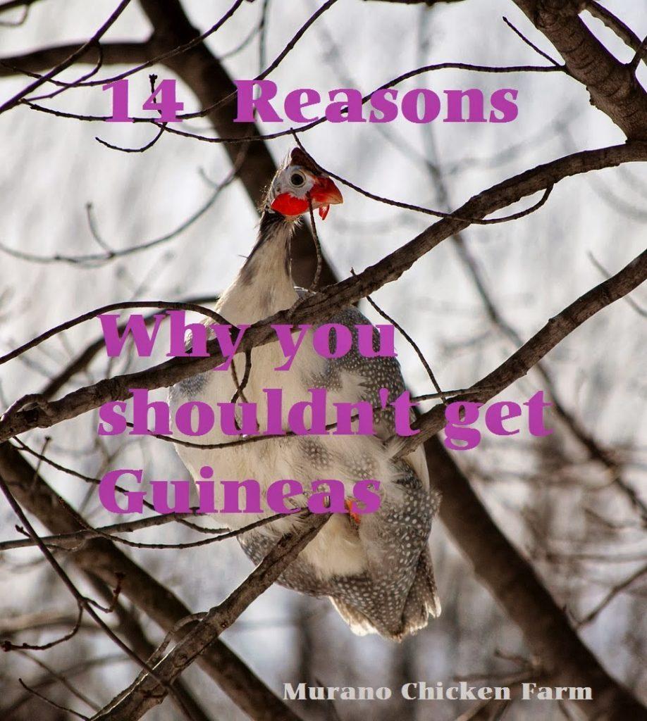 14 Reasons Not to Raise Guinea fowl