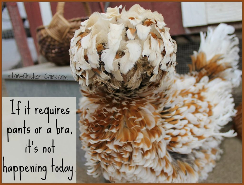 If it requires pants or a bra, it's not happening today. (Tolbunt Polish Frizzle hen_------)