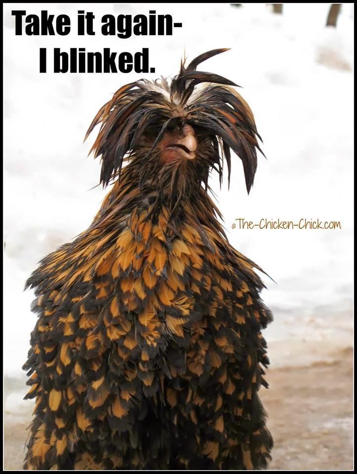 Take it again- I blinked. (Tolbunt Polish Frizzle hen)