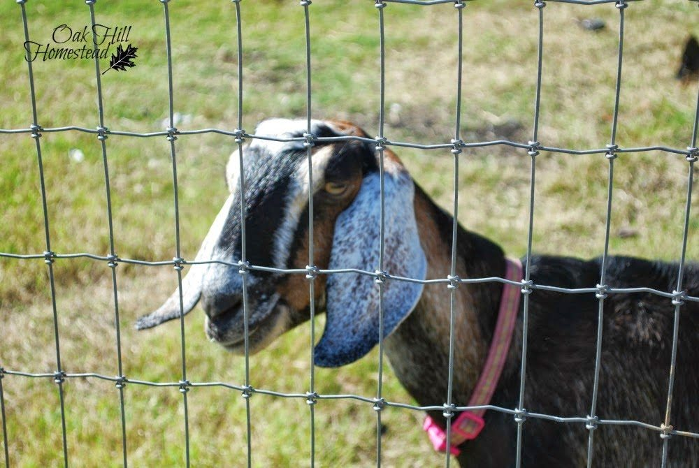 Goat Fencing, shared by Oak Hill Homestead