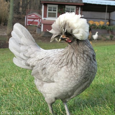 Smooth feathered Polish pullet