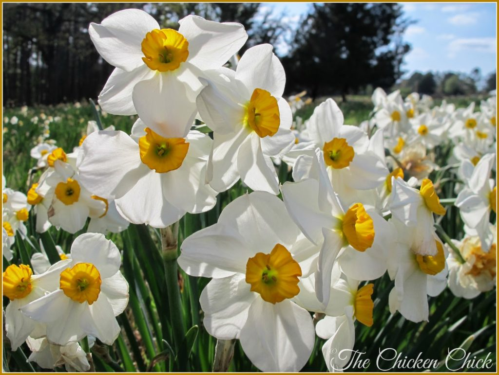 Daffodils growing on P Allen Smith's Arkansas farm