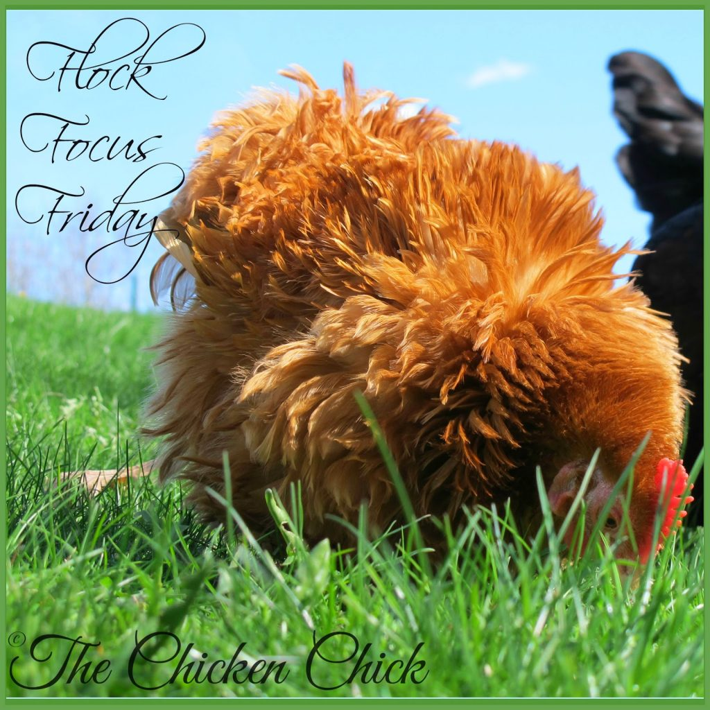 Flock Focus Friday with The Chicken Chick