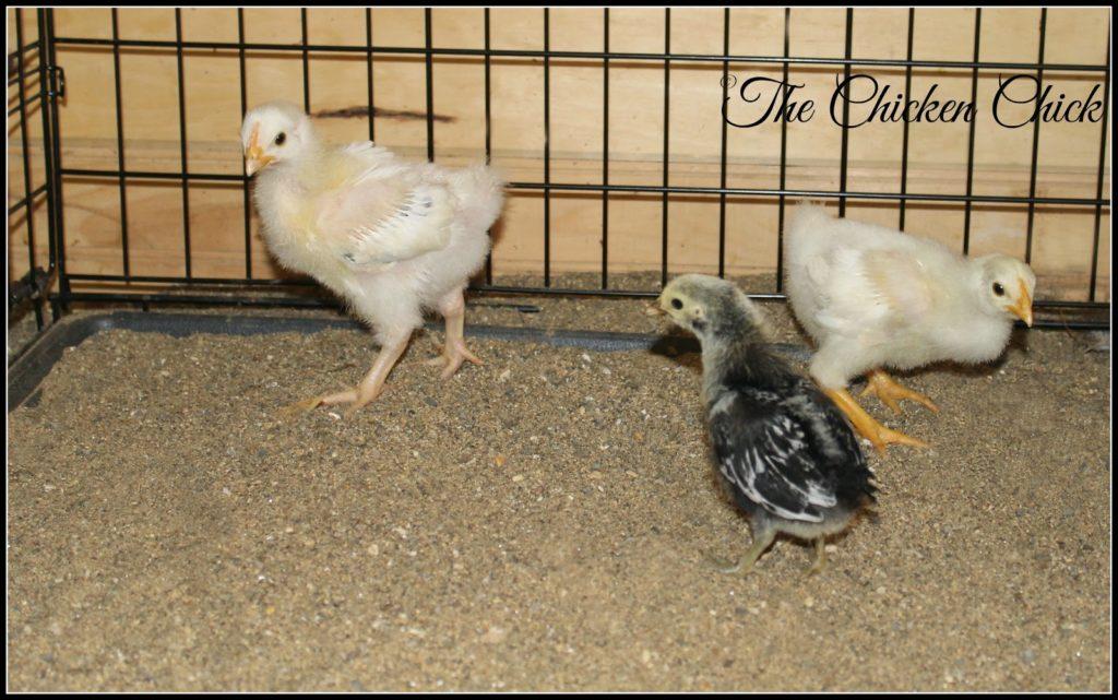 P. Allen Smith's grandchicks with a Silver Spangled Hamburg chick
