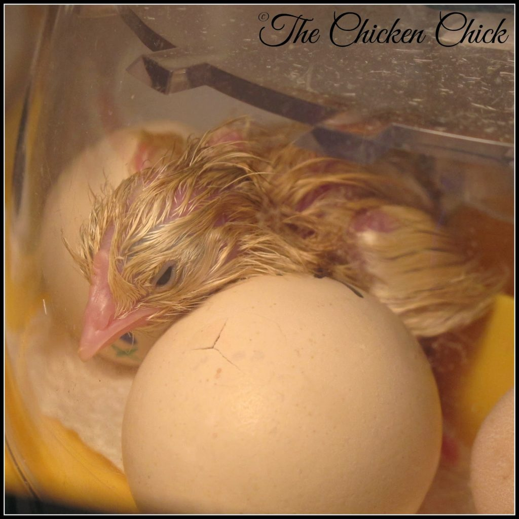 Chick hatching