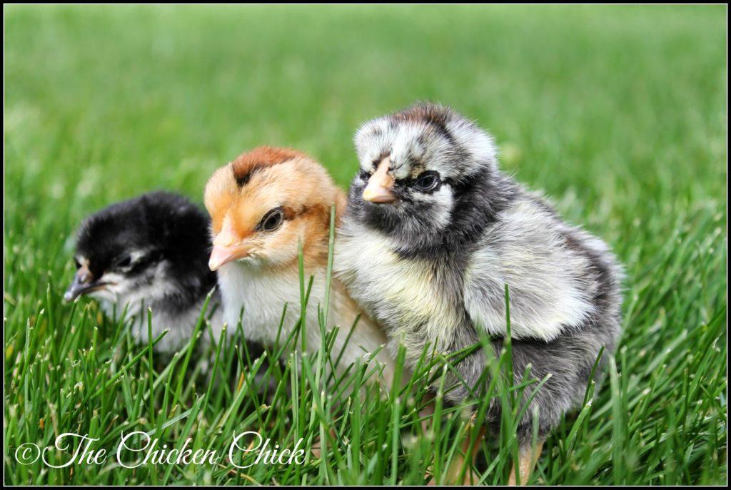 Spring chickens!