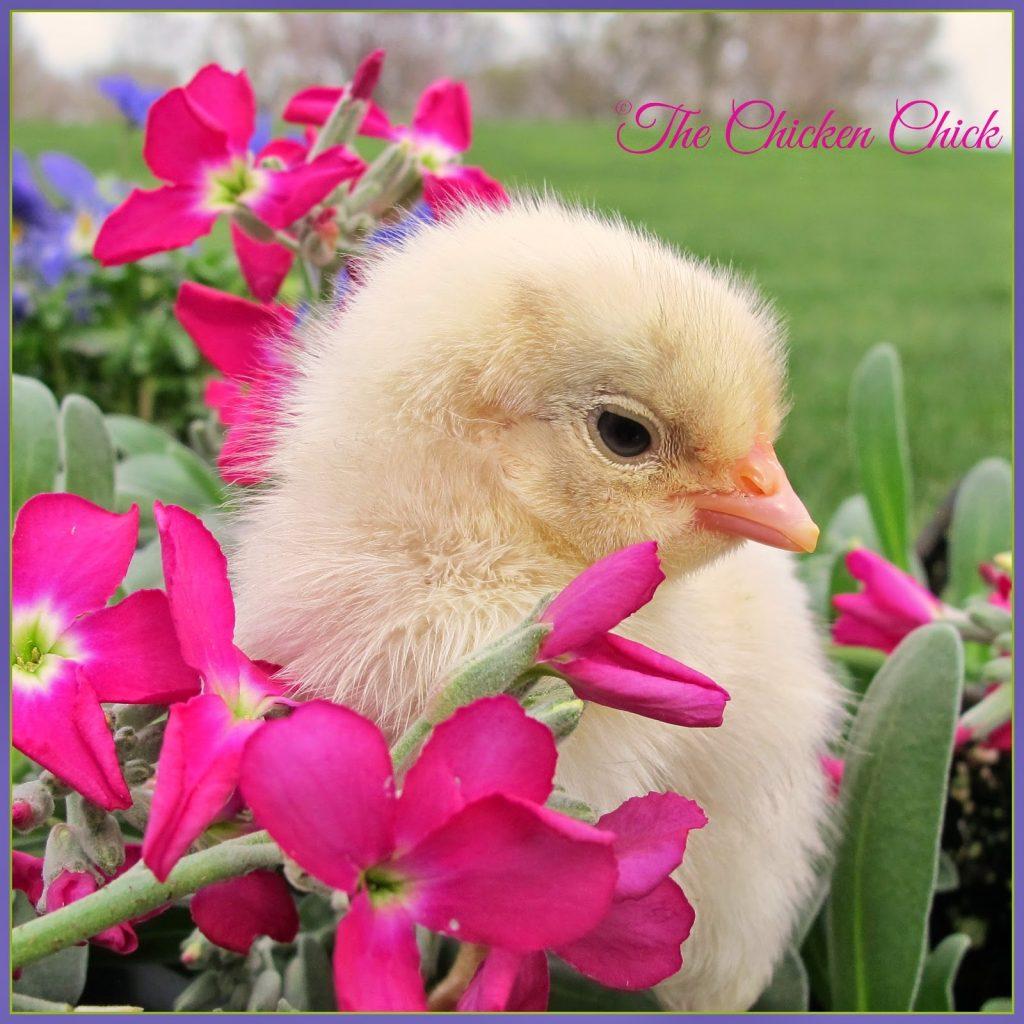 Spring Chickens