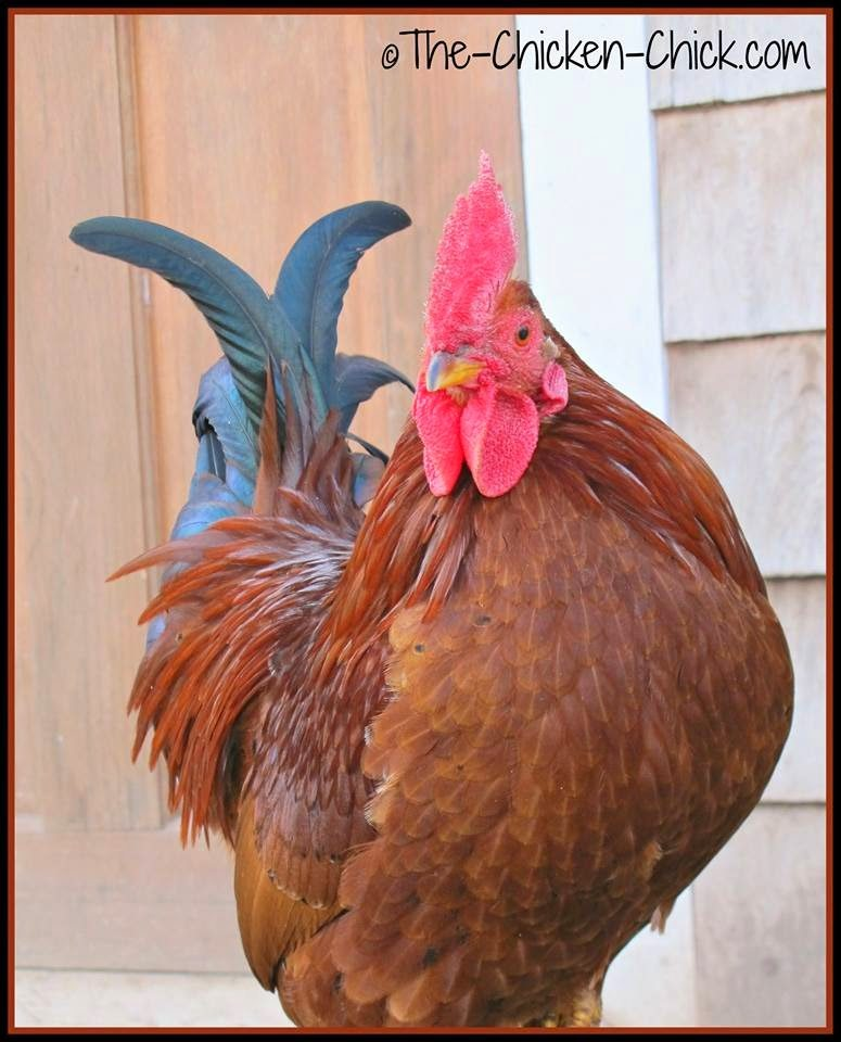 Spartacus was a Serama x Red Sex Link rooster.