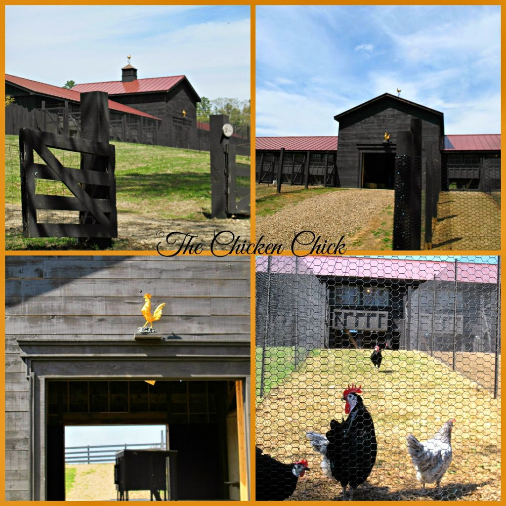 Construction of P. Allen Smith's chicken barn began autumn 2013. Finishing touches are still being put on it. Each breeding pen inside the barn has its own run to the outside. The pop doors are on a pulley system so that they can be opened simultaneously.