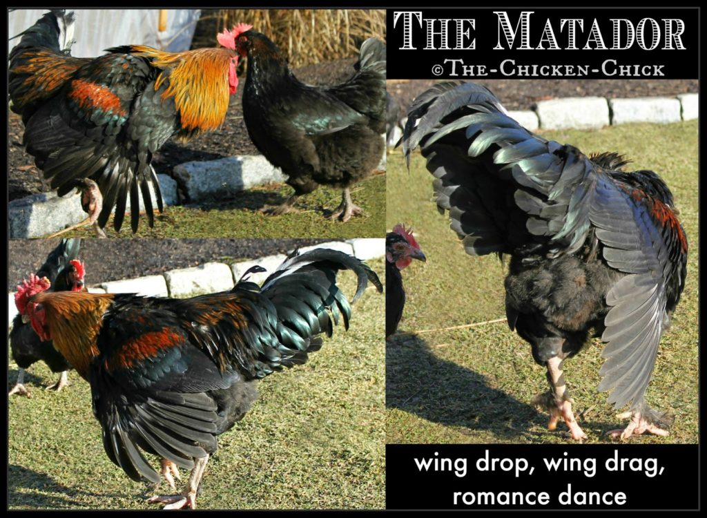 The Matador. This patent-pending rooster move is clearly intended to attract a hen's attention and mesmerize her with his size and beauty. The rooster fans his wings flamboyantly while dancing around her in the same way a matador fans his cape to attract the bull. I made that name up, but this move is commonly referred to as: the wing drag, wing drop or wing flicking.