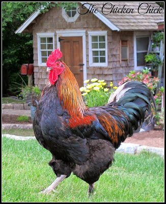 Black Copper Marans rooster