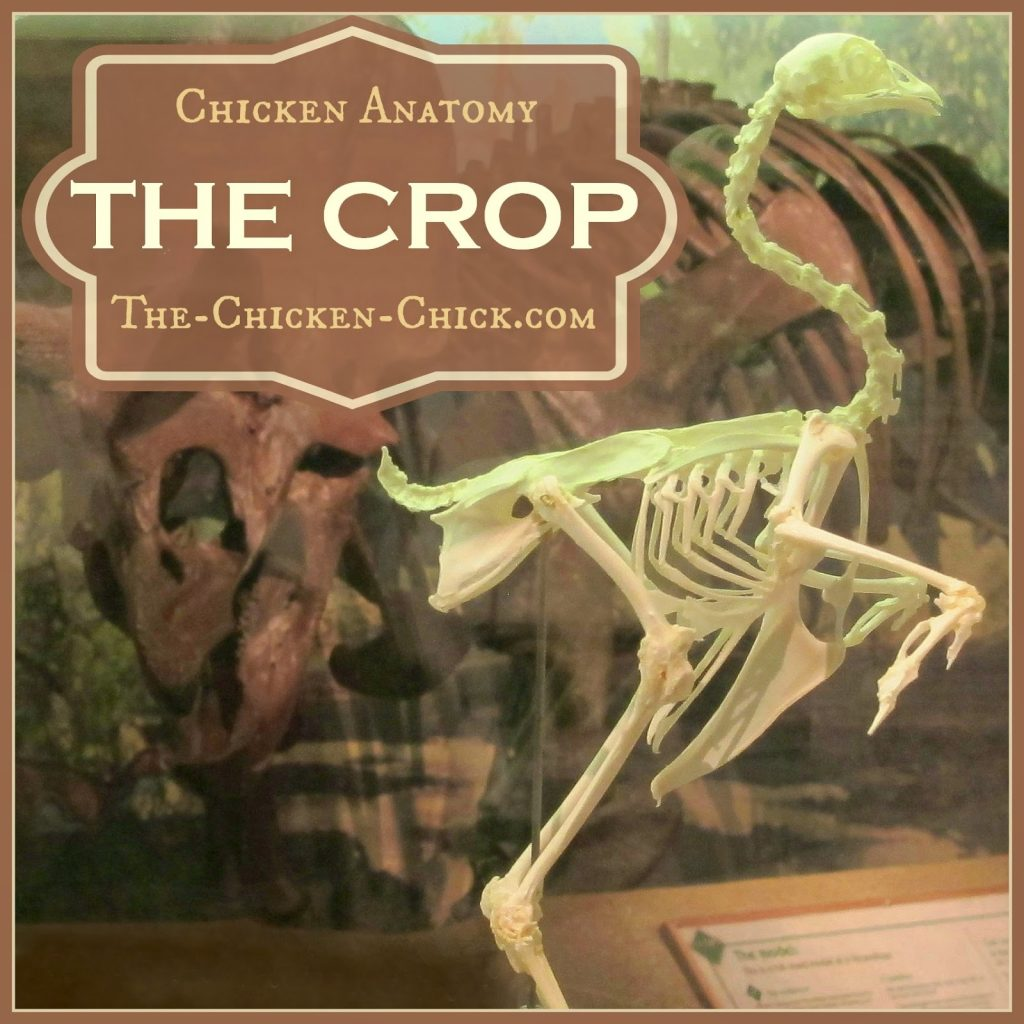 Chicken Anatomy: The Crop | Impacted Crop and Sour Crop