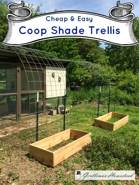 Cheap & Easy Coop Trellis, shared by Gentleman Homestead